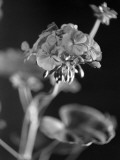 In Flower Photographic Print by Chaloner Woods