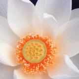 Lotus I Plakater af Jim Christensen