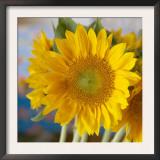 Sunny Sunflower I Poster by Nicole Katano
