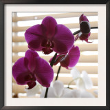 Purple Orchids I Poster by Nicole Katano