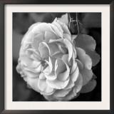 Delicate Petals II Posters by Nicole Katano