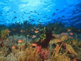 Schooling Anthias Fish, Wetar Island, Banda Sea, Indonesia Fotografie-Druck von Stuart Westmorland