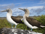 Blue-Footed Booby Courtship, Punta Cevallos, Espanola Or Hood Island, Galapagos Islands, Ecuador Photographic Print by Pete Oxford
