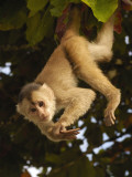 White-Fronted Capuchin Monkey Hanging From a Tree, Puerto Misahualli, Amazon Rain Forest, Ecuador Photographic Print by Pete Oxford