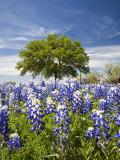 Texas Bluebonnets and Oak Tree, Texas, USA Fotografisk tryk af Julie Eggers
