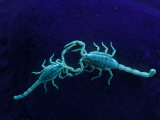 Two Scorpions Under Blacklight, Maverick County, Texas, USA Photographic Print by Cathy &amp; Gordon Illg