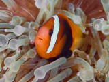 Anemonefish Among Poisonous Tentacles, Raja Ampat, Indonesia Fotografisk tryk