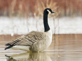 Canada Goose Standing in a Still Marsh Photographic Print by Larry Ditto