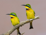 Two Little Bee-Eater Birds on Limb, Kenya Photographie par Joanne Williams