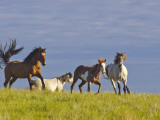 Wild Horses Running, Theodore Roosevelt National Park, North Dakota, USA Stampa fotografica di Chuck Haney