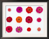 Pinks and Reds on White, Zinnia Family Prints