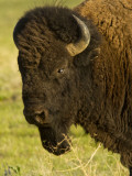 Bison Bull at the National Bison Range, Montana, USA Photographie par Chuck Haney