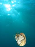 Chambered Nautilus Swimming Near Gnemelis Dropoff, Palau, Micronesia Fotografisk tryk af Stuart Westmorland