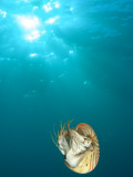 Chambered Nautilus Swimming Near Gnemelis Dropoff, Palau, Micronesia Photographic Print by Stuart Westmorland