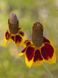 Prairie Coneflowers, Montana, USA Photographic Print by Chuck Haney