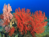 Brilliant Red Sea Fans, Komba Island, Flores Sea, Indonesia Photographic Print by Stuart Westmorland