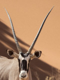 Close-Up of Oryx, Namib-Naukluft Park, Namibia, Africa Photographic Print by Wendy Kaveney