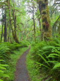 Maple Glade Trail, Quinault Rain Forest, Olympic National Park, Washington, USA Photographic Print by Jamie & Judy Wild