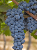 Close Up of Cabernet Sauvignon Grapes, Haras De Pirque Winery, Pirque, Maipo Valley, Chile Photographic Print by Janis Miglavs