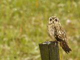 Short Eared Owl in Spring Snowfall at Nineopie Wma, Montana, USA Photographic Print by Chuck Haney