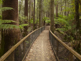 Tall Trees Walk, Mount Field National Park, Tasmania, Australia Photographic Print by David Wall
