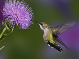 Ruby-Throated Hummingbird in Flight at Thistle Flower Impresso fotogrfica por Adam Jones