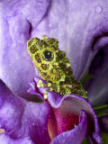 Close-Up of Mossy Tree Frog on Flower, Vietnam Photographic Print by Jim Zuckerman