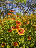 Firewheels Growing in Mesquite Trees, Texas, USA, Photographic Print by Larry Ditto