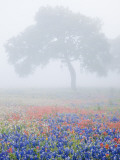 Field of Bluebonnets and Paintbrush on Foggy Morning, Texas, USA Photographic Print by Julie Eggers