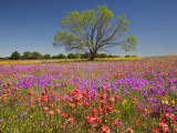 Spring Mesquite Trees Growing in Wildflowers, Texas, USA Papier Photo par Julie Eggers