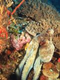 Close-Up of Octopus on Reef, Wetar Island, Banda Sea, Indonesia Fotoprint van Stuart Westmorland