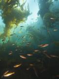 Juvenile Copper Rockfish Hiding Among, Giant Kelp, Browning Passage, British Columbia, Canada Photographie par Stuart Westmorland
