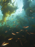 Juvenile Copper Rockfish Hiding Among, Giant Kelp, Browning Passage, British Columbia, Canada Photographic Print by Stuart Westmorland