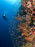 Diver With Light Next To Vertical Reef Formation, Pantar Island, Indonesia Photographie par  Jones-Shimlock
