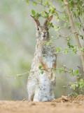 Desert Cottontail Rabbit, Rio Grande Valley, Texas, USA Photographic Print by Rob Tilley