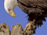 Bald Eagle Perched on Tree Branch, Alaska, USA 写真プリント : ジョー&マリーアン・マクドナルド