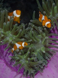 Clownfish Swim Among Anemone Tentacles, Raja Ampat, Indonesia Photographic Print by  Jones-Shimlock