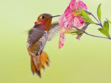 Rufous Hummingbird Feeding in a Flower Garden, British Columbia, Canada Photographie par Larry Ditto