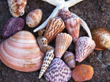 Seashells Along the Gulf of California, Loresto, Mexico Photographic Print by Chuck Haney