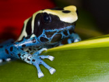 Poison Dart Frog on Red Leaf, Republic of Surinam Lmina fotogrfica por Jim Zuckerman