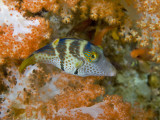 Close-Up of Pufferfish, Raja Ampat, Papua, Indonesia Photographic Print by  Jones-Shimlock