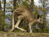 Eastern Grey Kangaroo at Queensland, Australia Photographic Print by Pete Oxford
