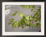 Regal Maple Leaves Prints by Nicole Katano