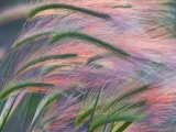 Foxtail Barley Backilt Near East Glacier, Montana, USA Photographie par Chuck Haney