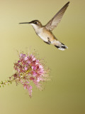 Ruby-Throated Hummingbird Feeding at Rocky Mountain Bee Plant Flower, South Texas, USA Papier Photo par Larry Ditto