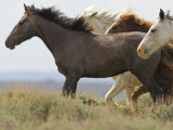 Wild Horses Running, Carbon County, Wyoming, USA Photographic Print by Cathy & Gordon Illg