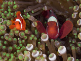 Two Clownfish Among Anemone Tentacles, Raja Ampat, Indonesia Photographic Print