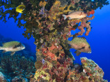Harlequin Sweetlips, Butterflyfish and Glasseye, Palau, Micronesia Photographic Print by Stuart Westmorland