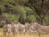Herd of Grevy's Zebras, Shaba National Reserve, Kenya Photographic Print by Alison Jones