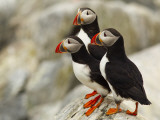 Atlantic Puffins on Machias Seal Island Off the Coast of Cutler, Maine, USA Photographie par Chuck Haney
